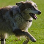Oregon Australian Shepherd Picture – Rustie At Ventura Dog Park