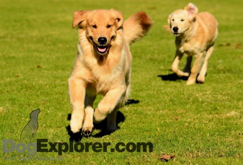 golden retriever dogs puppies. Golden Retriever Pictures