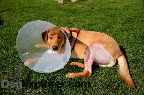 Labrador Retriever Rescue Pictures