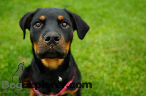World's Cutest Puppy Picture - Rottweiler Puppy