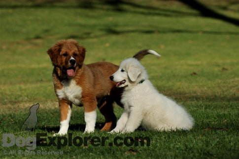 Mountain Dog Mix Mutt Puppy & Great Pyrenees Puppy Dogs - Dog Pictures