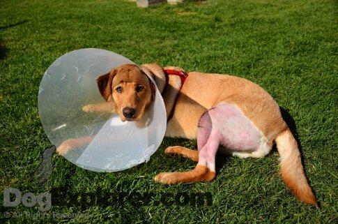 Meet Shania – Labrador Retriever Rescue Picture